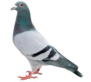 遠坂トレスコー系基礎鳩 キングオブトレスコー110