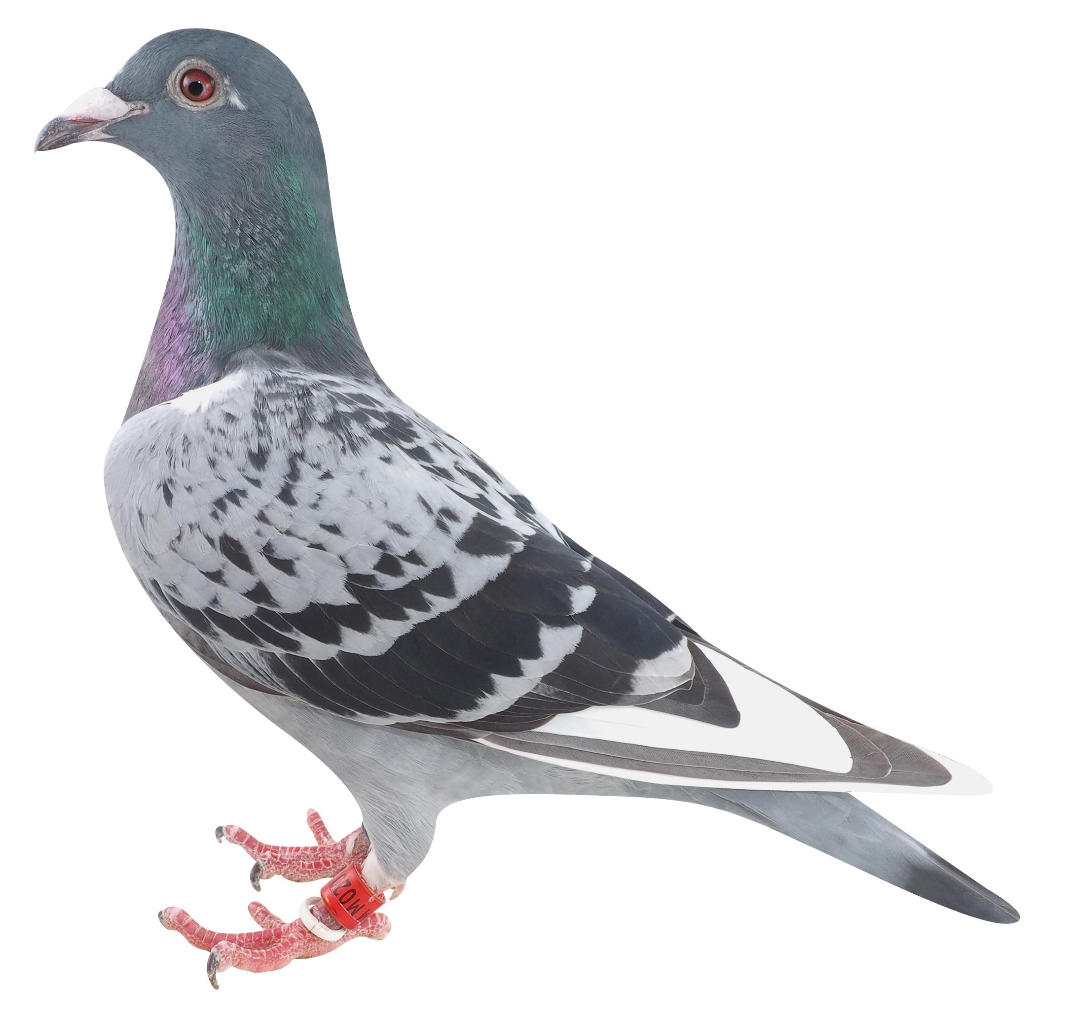 17MM02021 BCWP ♀ 蛇谷和平鳩舎作翔