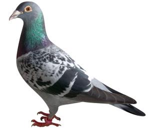 上武連盟史上初となるGNベストテン鳩「稚内スピードボーイ」。源鳩「コース」の孫鳩である。